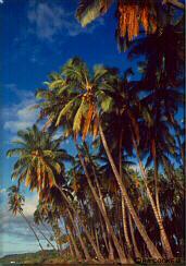 Photo - Kapuaiwa royal coconut grove